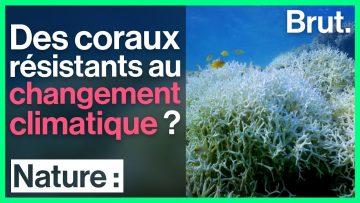 Des coraux résistants au changement climatique ?
