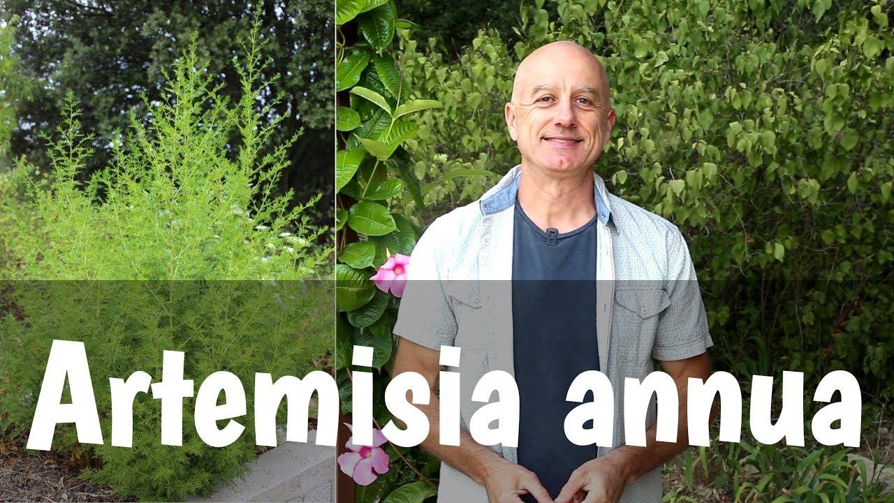 Armoise annuelle (Artemisia annua) : malaria et cancer