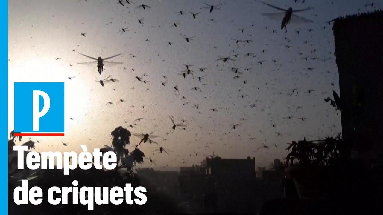Environnement : l'Inde subit sa pire invasion de criquets pèlerins depuis 30 ans