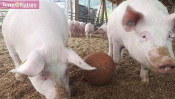 porc-de-prairie-prochaine-evolut