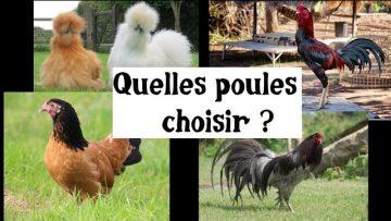 quelles-poules-choisir